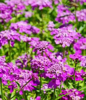 Purple flower names enlisted with a beautiful photo gallery candytuft scientific name iberis plant type annual and perennial blooming spring to summer mightylinksfo Gallery