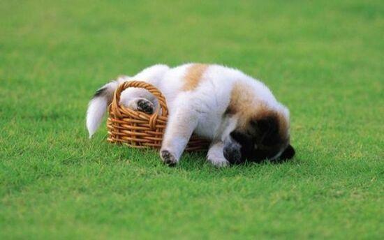 Fotos tiernas de perros dormidos en cualquier parte