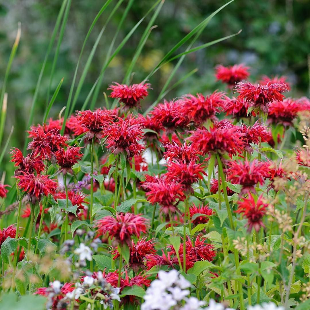 The Monardas Are Out In Force What Are Your Favourite Red Flowers Flower Seeds Planting Flowers From Seeds Flowers Perennials