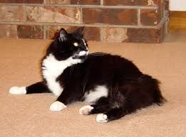 Yes You Look Like Bebee Black And White Long Haired Tuxedo Cat