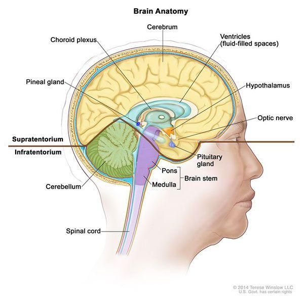 lower brain diagram volvo penta dynastart wiring drawing of the inside showing supratentorium upper part and infratentorium back