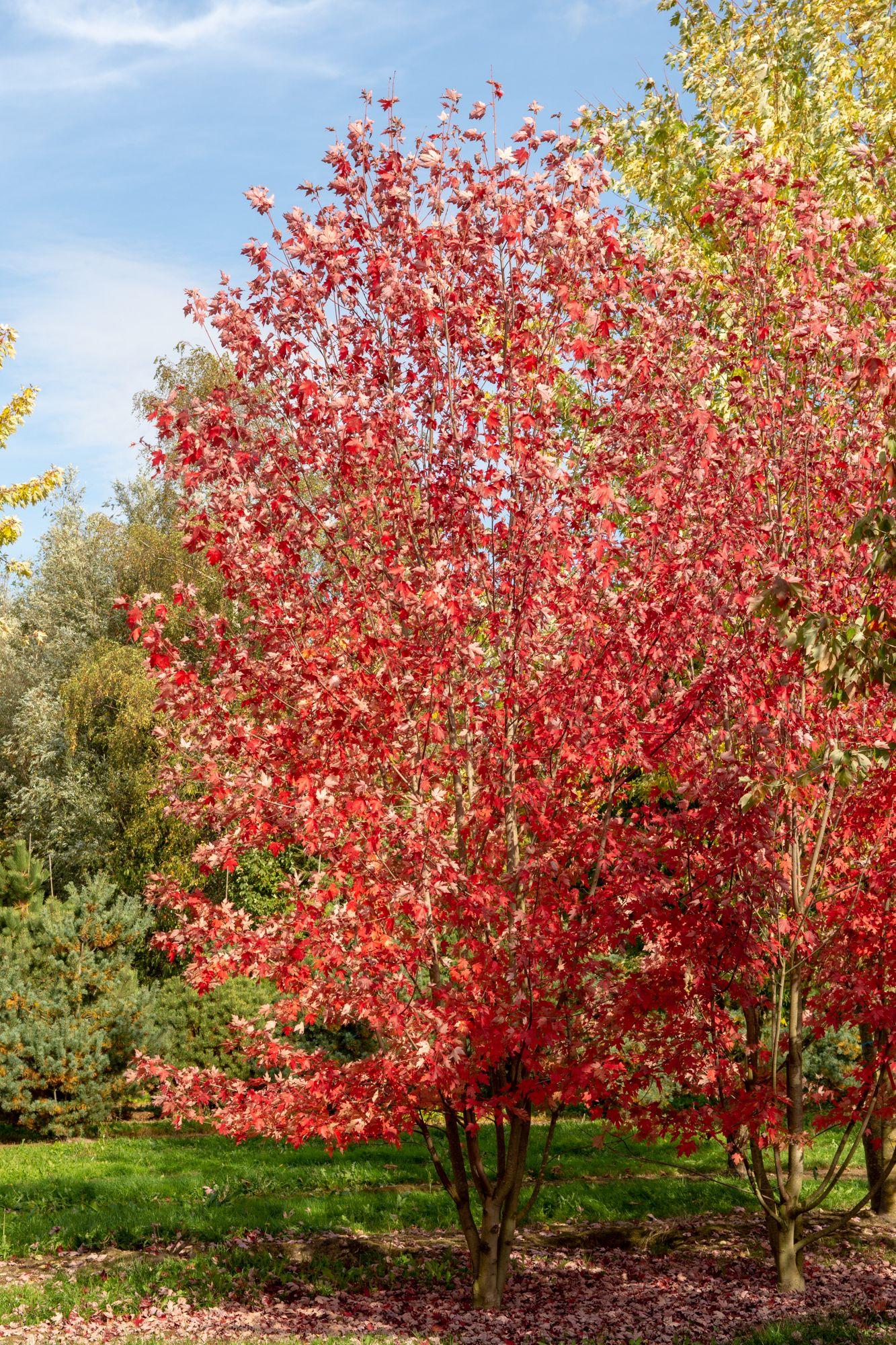 Acer X Freemanii Jeffersred Autumn Blaze Maple Street Tree