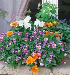 Violas, pensées, myosotis et ancolies en jardinière multicolore<br />F. Marre - Jardin Express - Rustica