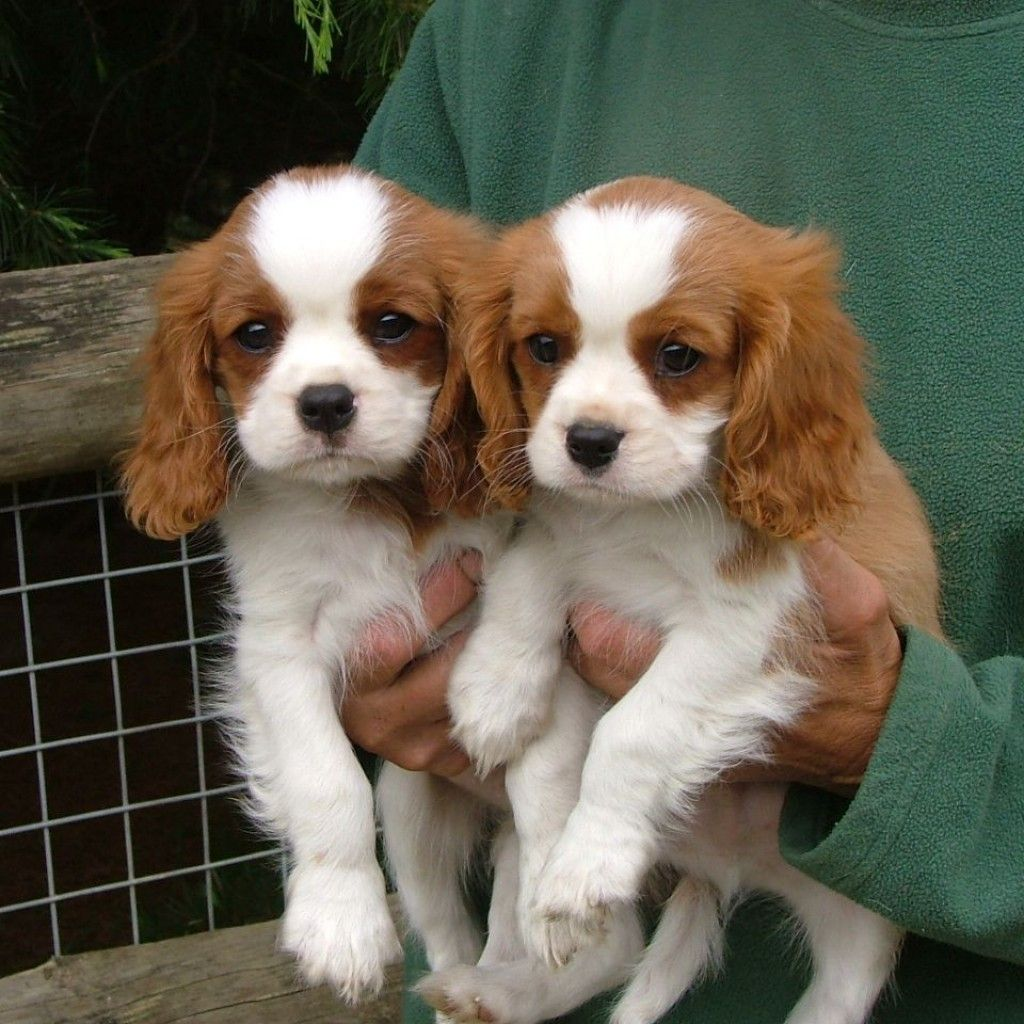 Miniature Spaniel Breeds King Charles
