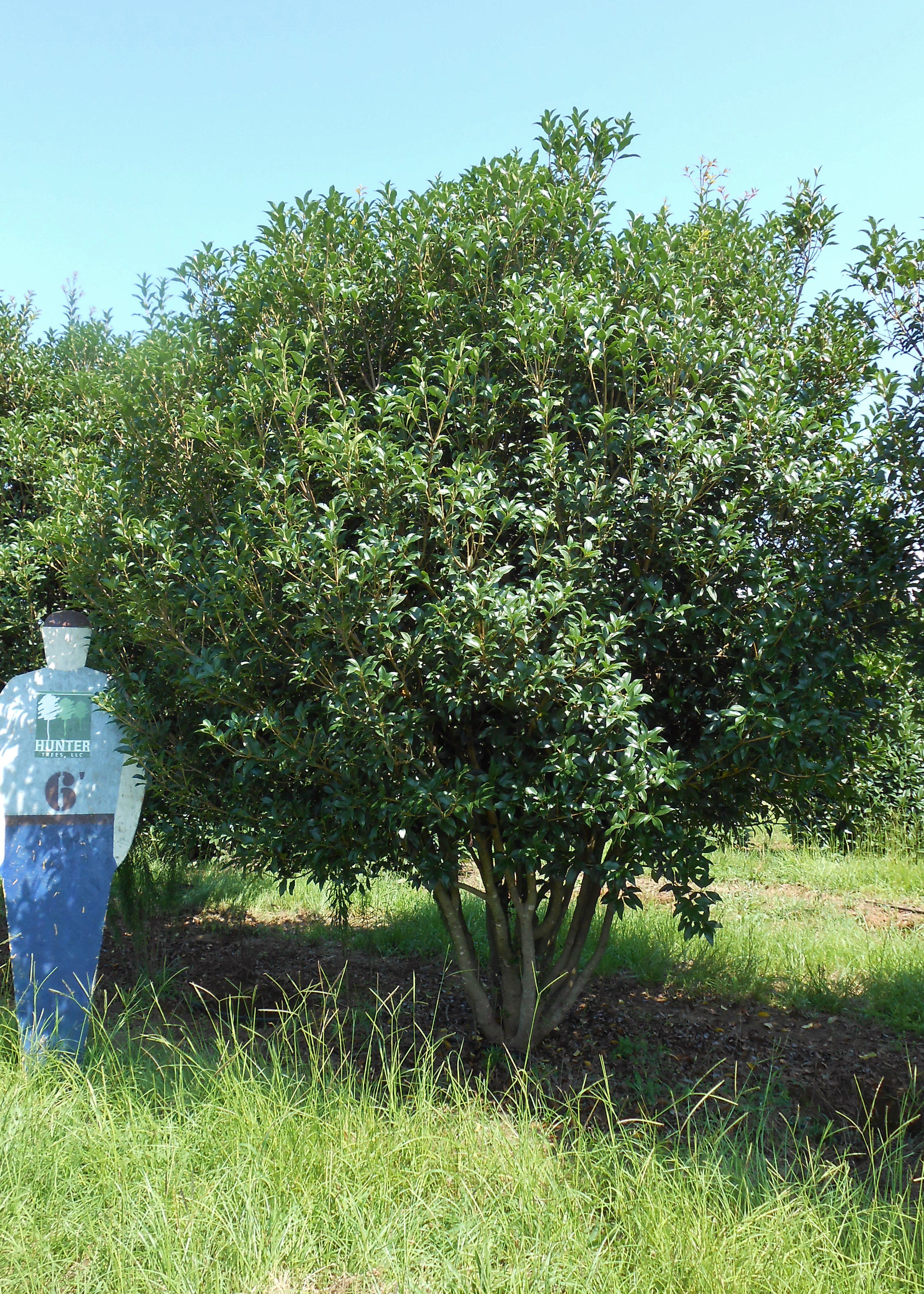 Fruitlands Tea Olive Small Evergreen Tree With Dense Spiny Leathery Foliage Late Summer