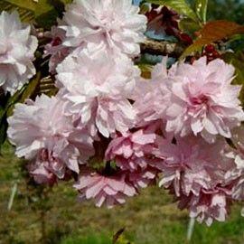 Cerisier A Fleurs Pleureur Kiku Shidare Sakura Beautiful Flowers