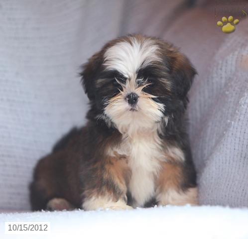 Lilac Shih Tzu Puppy For Sale In Quarryville Pa Shih Tzu Puppy For Sale Shih Tzu Puppy Puppies For Sale Shih Tzu