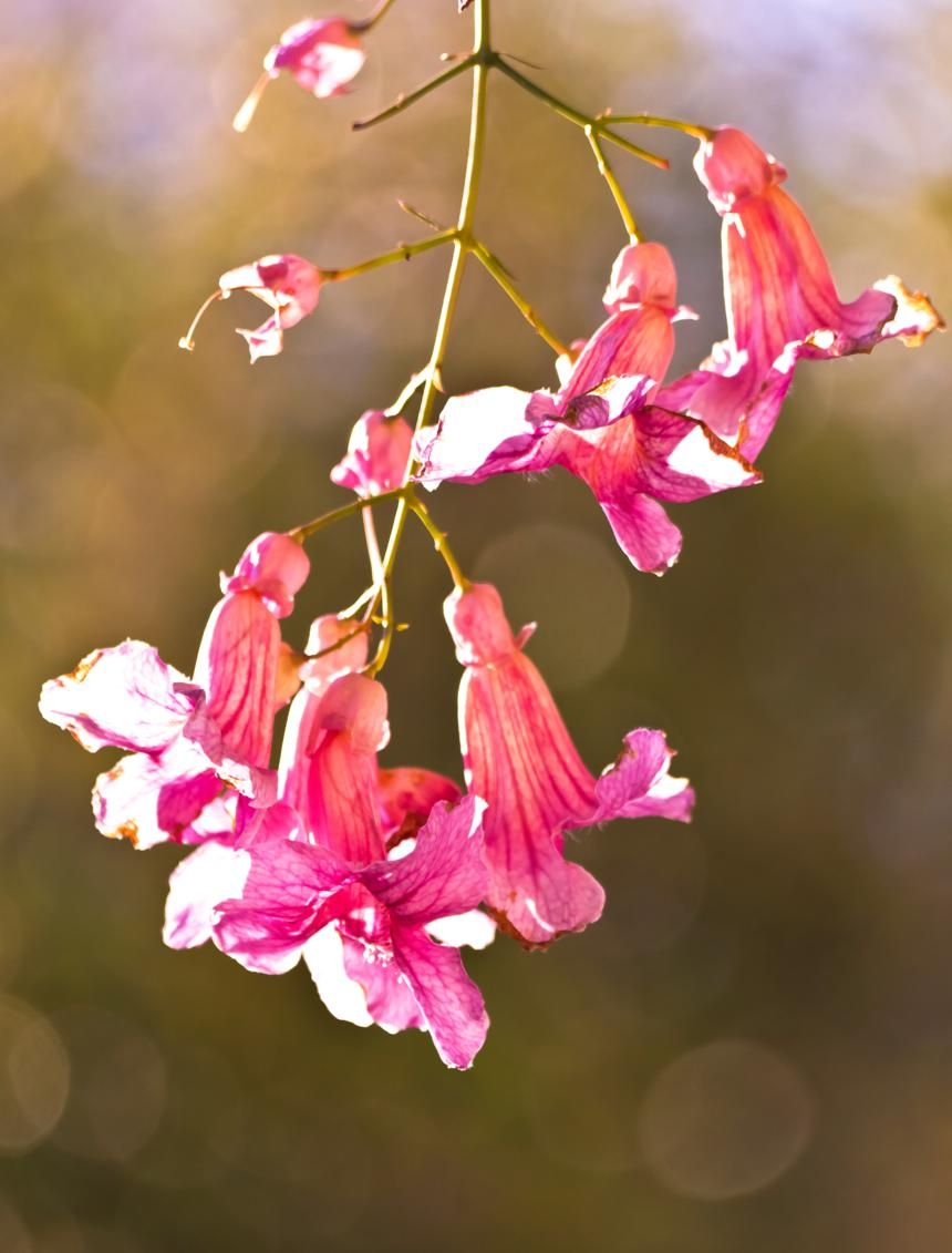 Pink Trumpet Vine Flower Cluster Flowers Pinterest Flowers