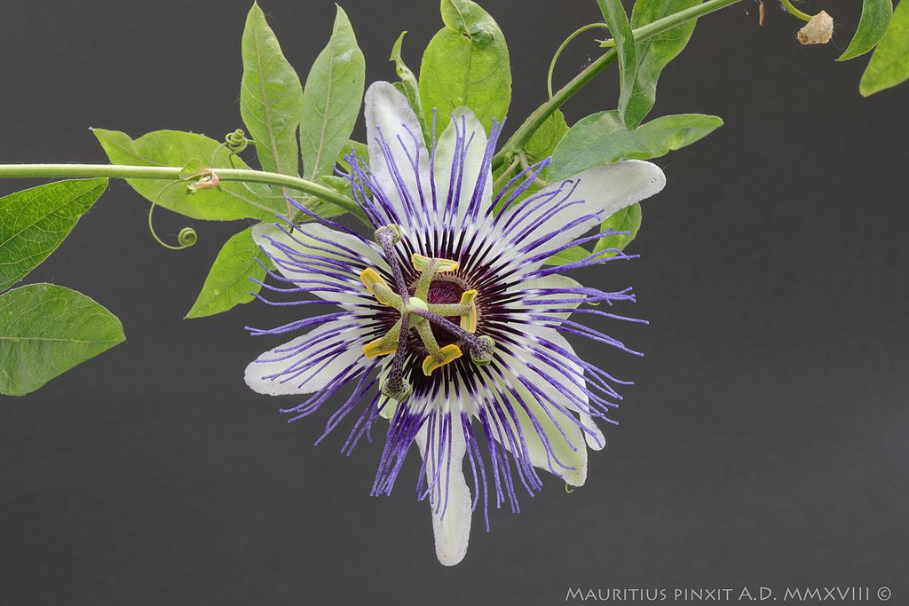 Passion Flower Clear Sky Passion Flower Passion Flower Plant Shade Flowers