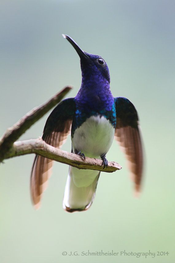 Hummingbird Photograph Bird Photography Wildlife Photography Animal Photography Costa Rica Travel Photography Nature Photography Bird Photography Wildlife Photography Animal Photography