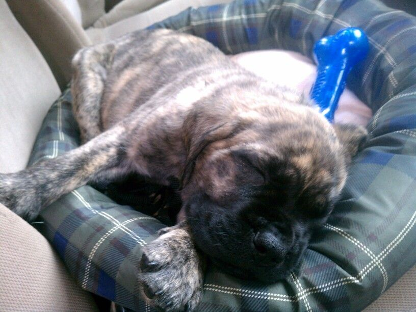 Sleepy Baby B After Getting The Christmas Tree English Mastiff