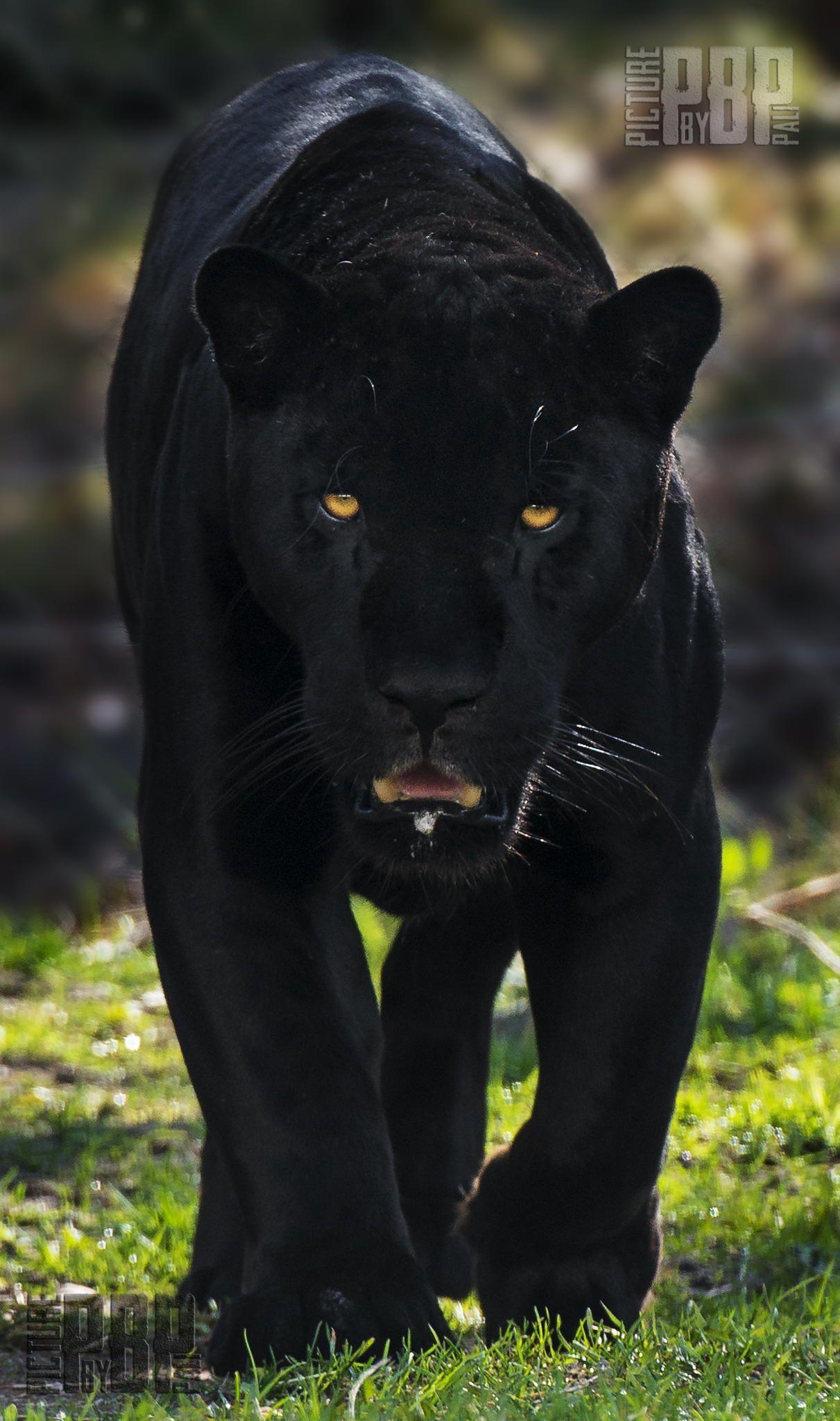 ˚King of the Amazon's Jaguar (Panthera onca
