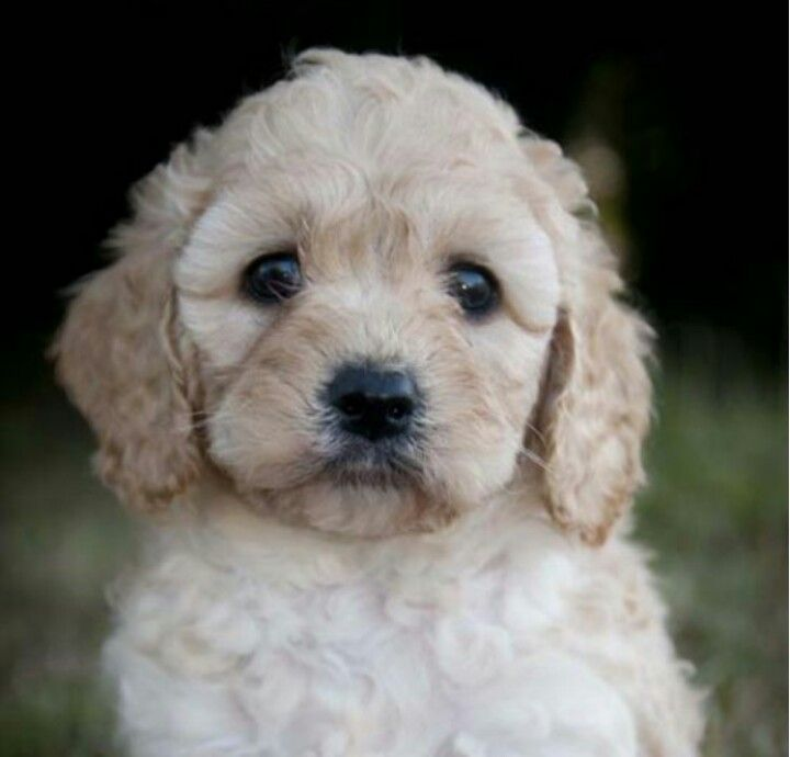 Gorgeous Spoodle Cocker Spaniel Poodle Cross Puppies