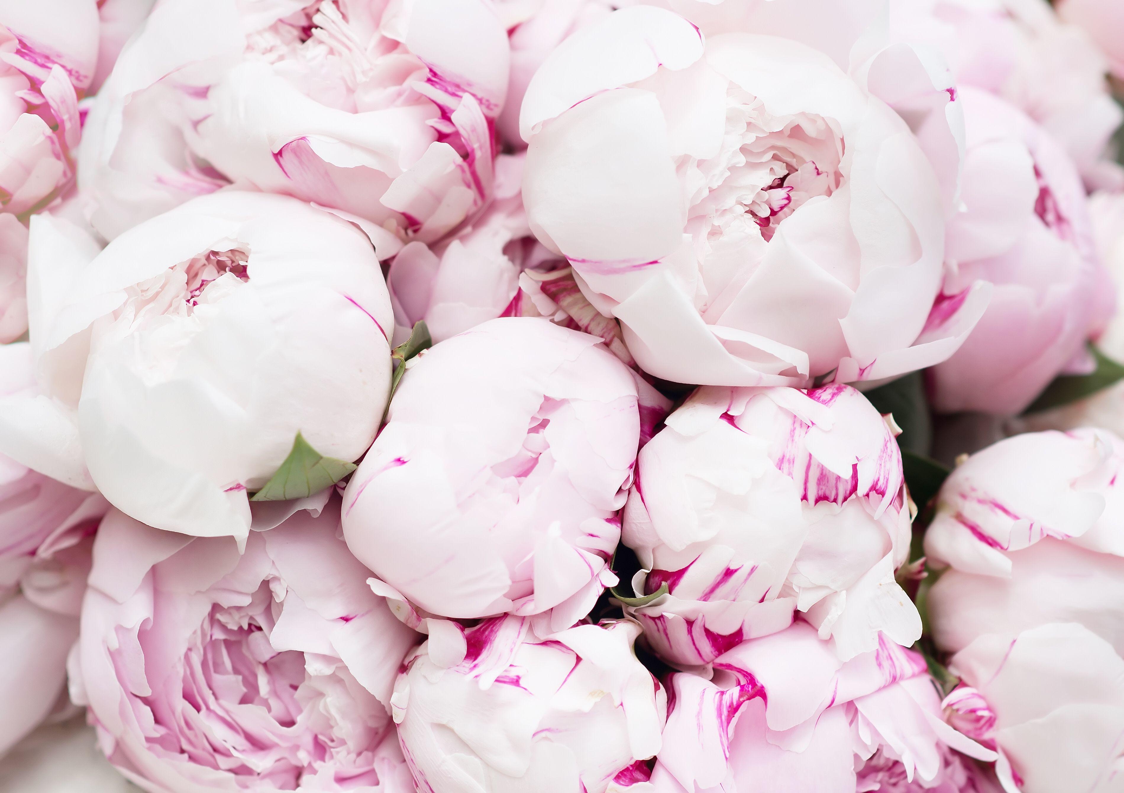 Photos of Peonies Pink peonies background, Peonies