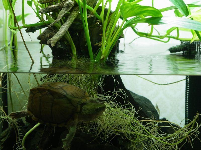 カブトニオイガメ水槽レイアウト 植物とカメの共存を求めました となりのアクアリウム 水槽 レイアウト 水槽 カブトニオイガメ