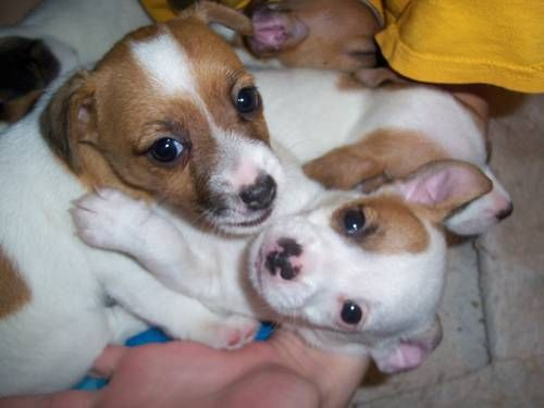 Adorable NKC Jack Russell Puppies
