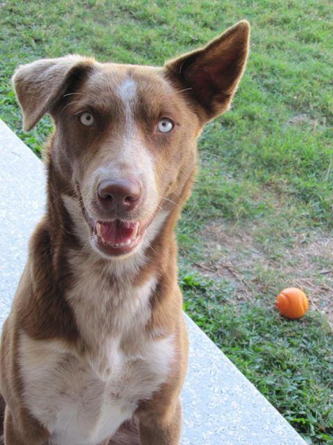 Australian Koolie Dog Photo Kelpie Koolie Cross Brisbane