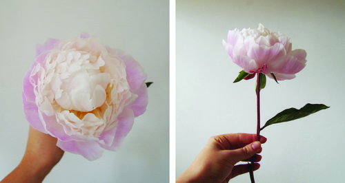 Flower of the moment: Peony
