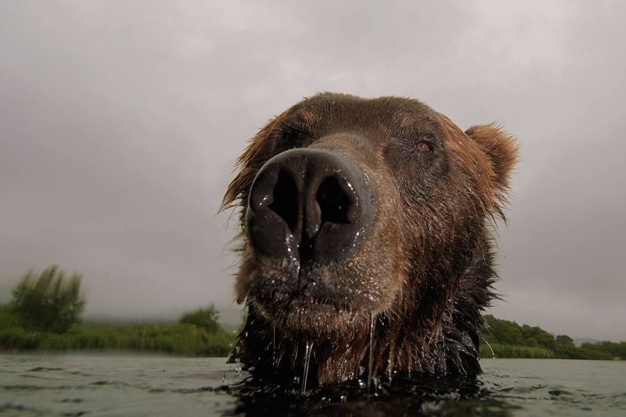 Timeline Photos Sergey Gorshkov Photographer Facebook Brown Bear Bear Animals