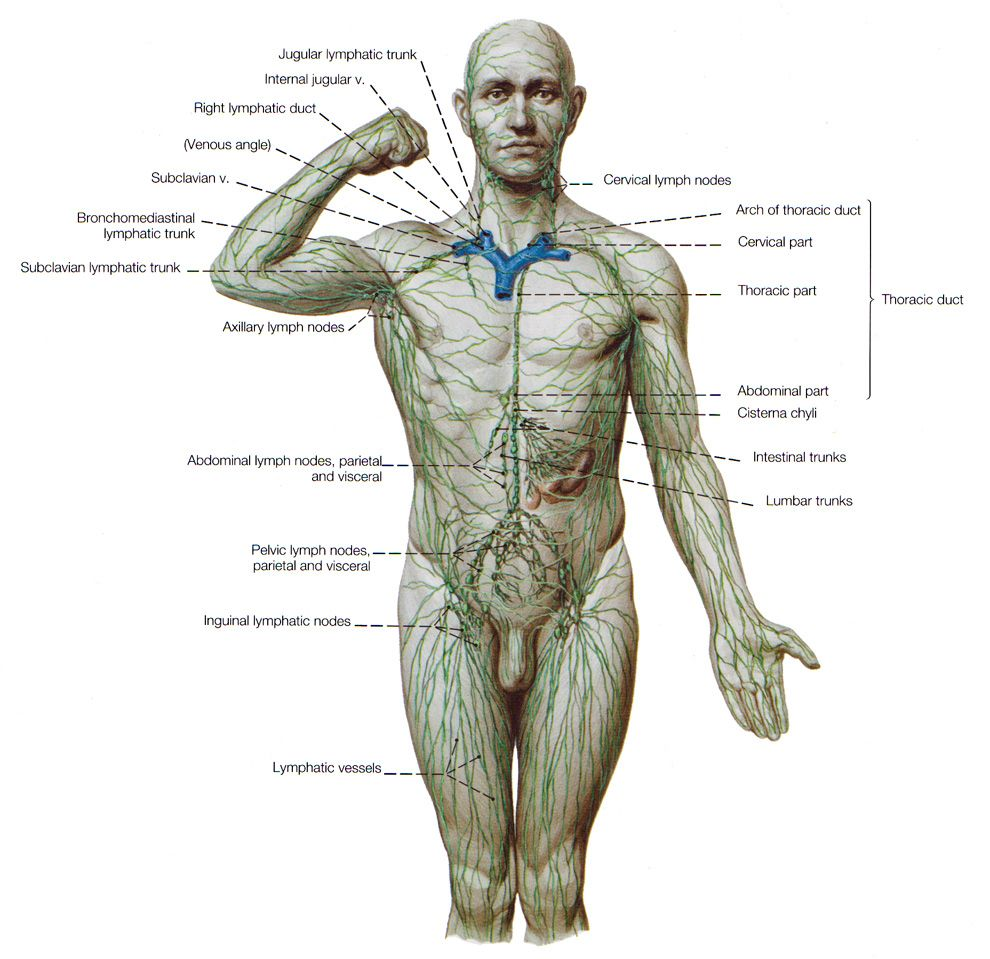 The Lymphatic System - drainage for interstitial fluids. | Systems ...