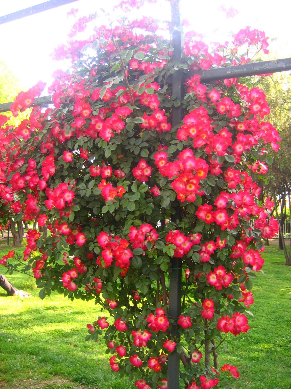 rosas trepadoras plantas ornamentales trepadoras