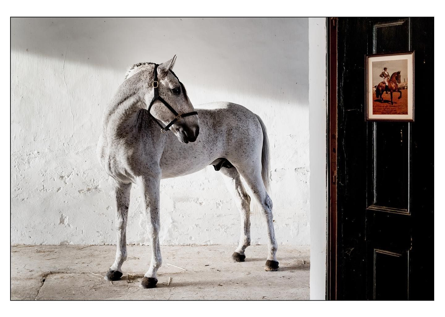 Do Not Look Back Golega Stable Stablelife Lusitano Greylusitano Equinephotography Lusitanien Horse Fnc Feira In 2020 Horses Equestrian Lifestyle Equestrian