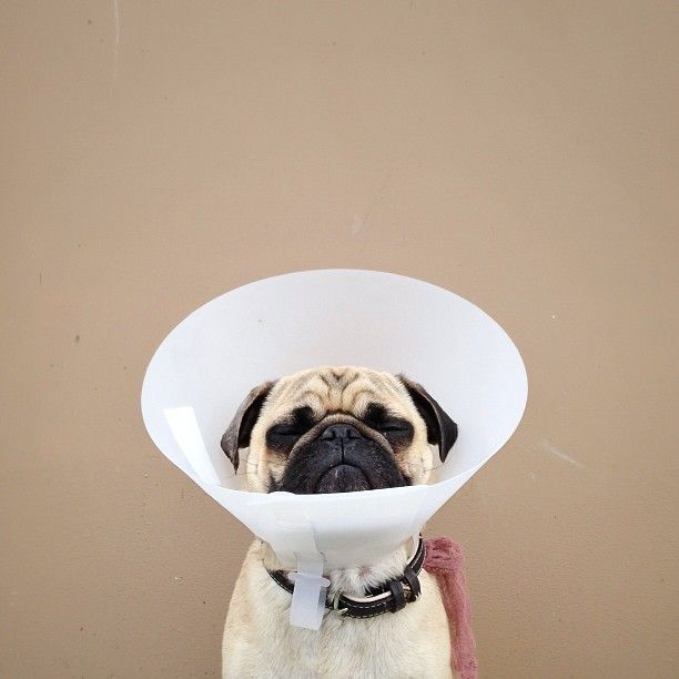 Cone Of Shame Dog Friends Dog Lovers Puggle