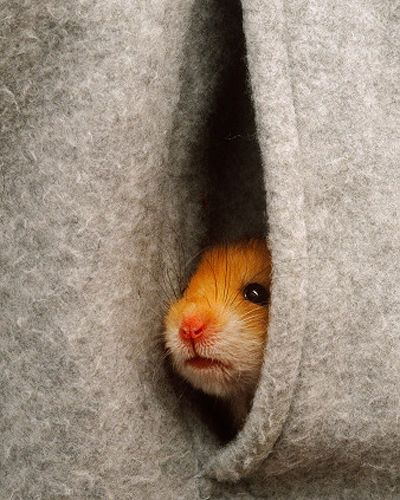 Hiding hamster : This cute little hamster looks very cosy in his hiding spot.
