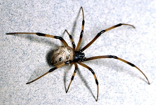 Research on Brown Widow Spider, UC Riverside, CISR (Center for ...
