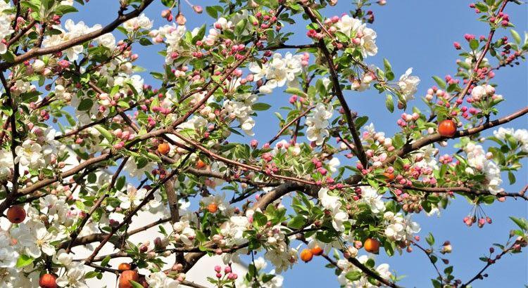 - Pommiers en fleurs pour attirer les abeilles