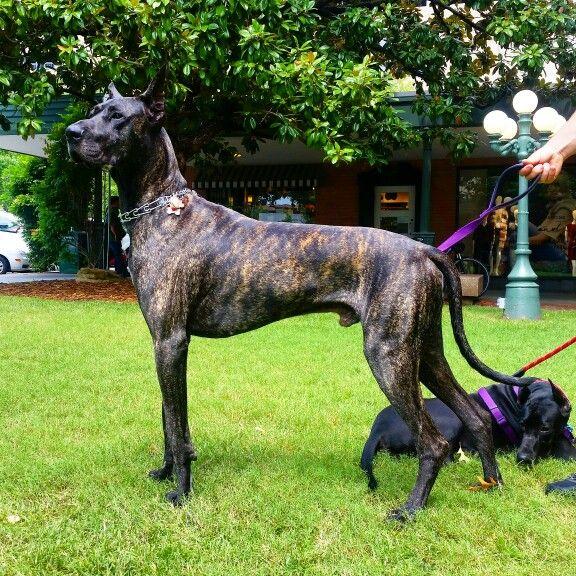 Vinny Gorgeous Brindle Great Dane Great Dane Dogs Great Dane