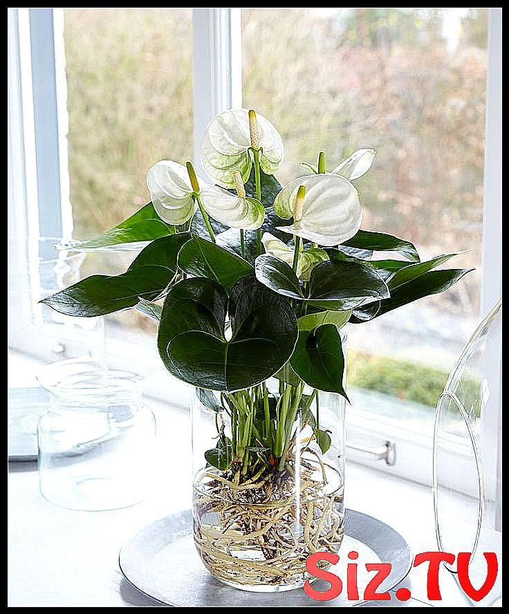 Kaufen Sie jetzt Zimmerpflanze Anthurie im Wasser    Kaufen Sie jetzt Zimmerpflanze...