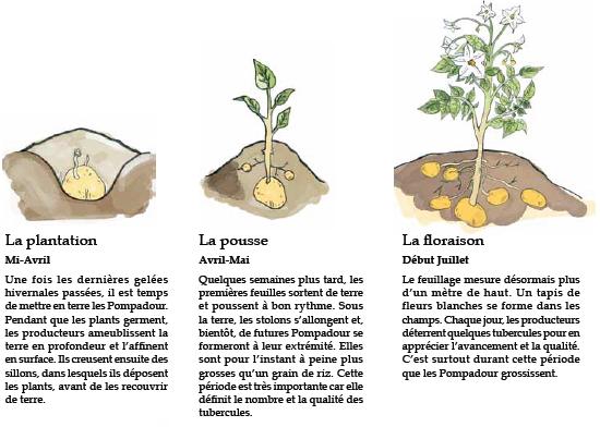 Pomme de terre pompadour label rouge pomme de terre - Quand semer les pommes de terre ...
