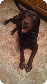 Colorado Springs Co Labrador Retriever Mix Meet Princess A Dog