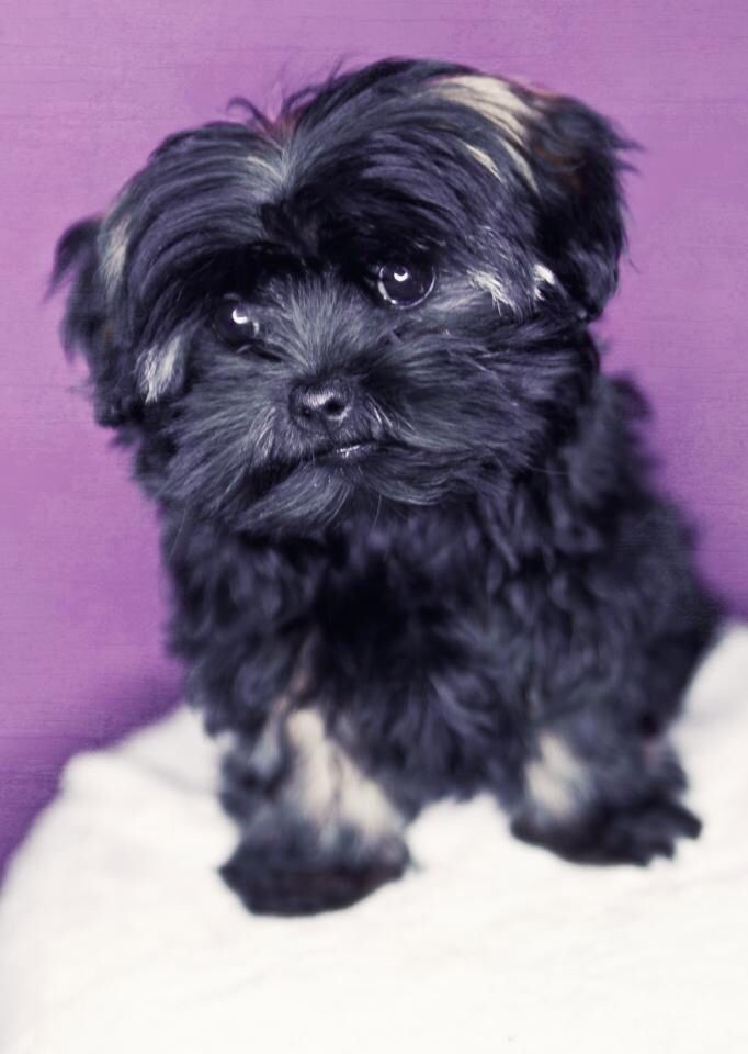 Bolonka Zwetna Cute Dogs Bolognese Dog Cute Baby Animals