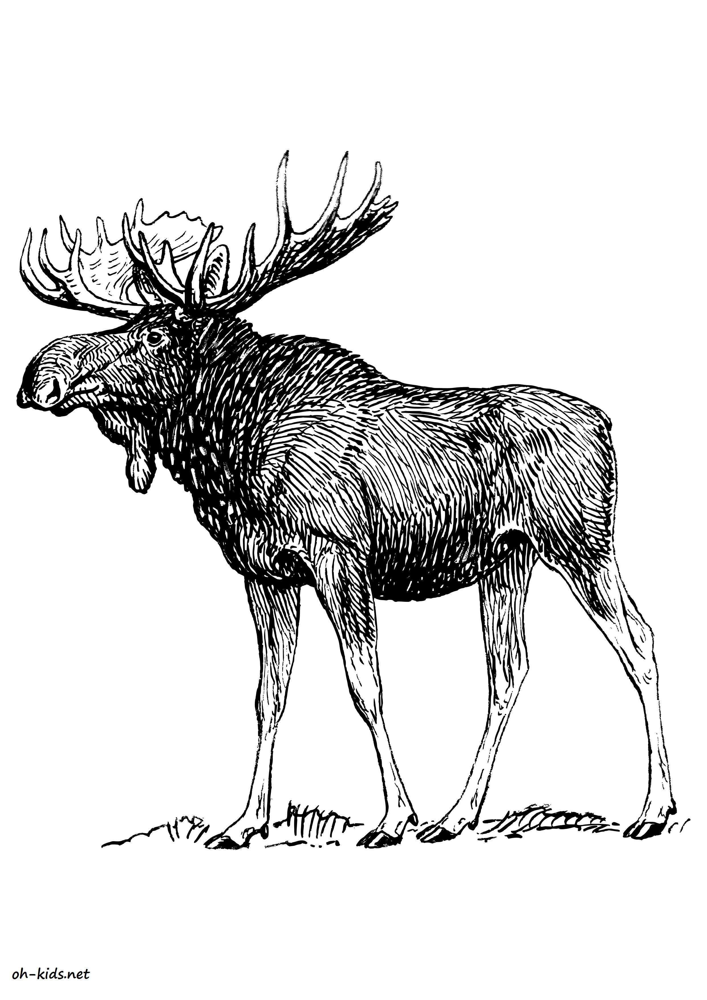 Dessin de orignal colorier image 1052 image library - Animal a colorier ...