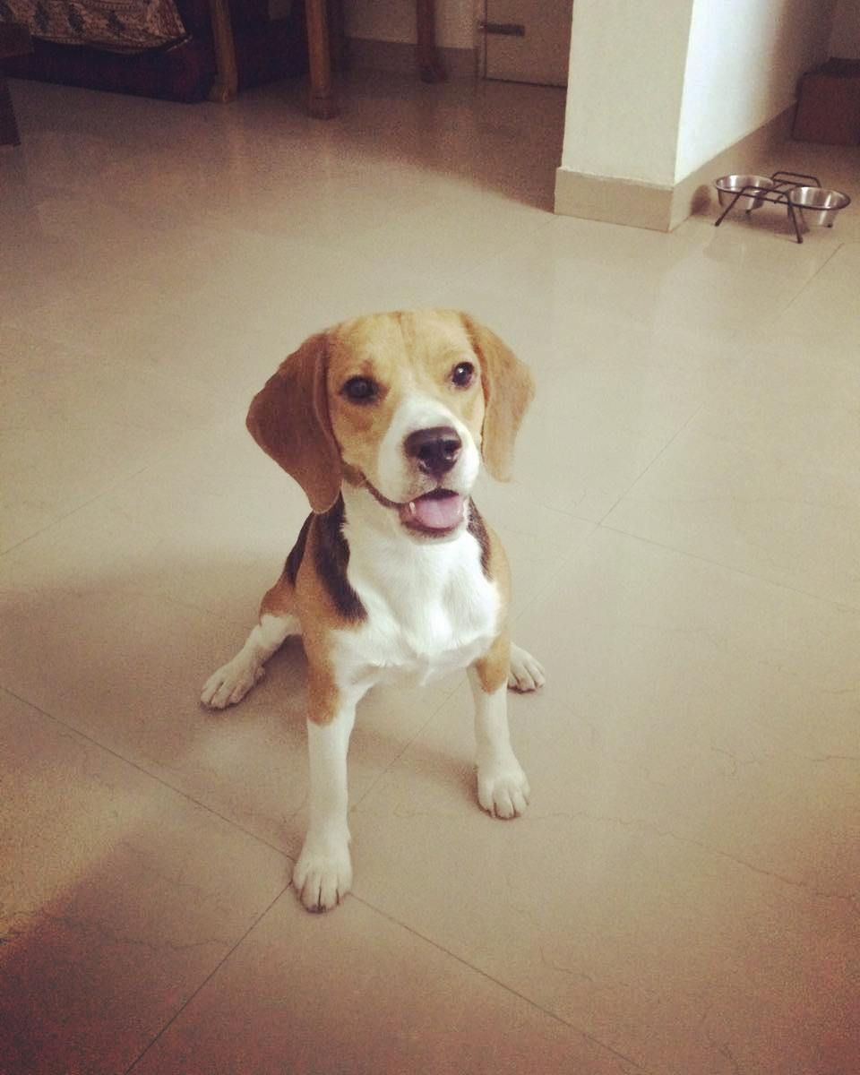 Beagle For Adoption Delhi Snoopy Is An 8 Month Old Beagle Whose