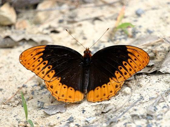 Những cánh bướm tuyệt sắc
