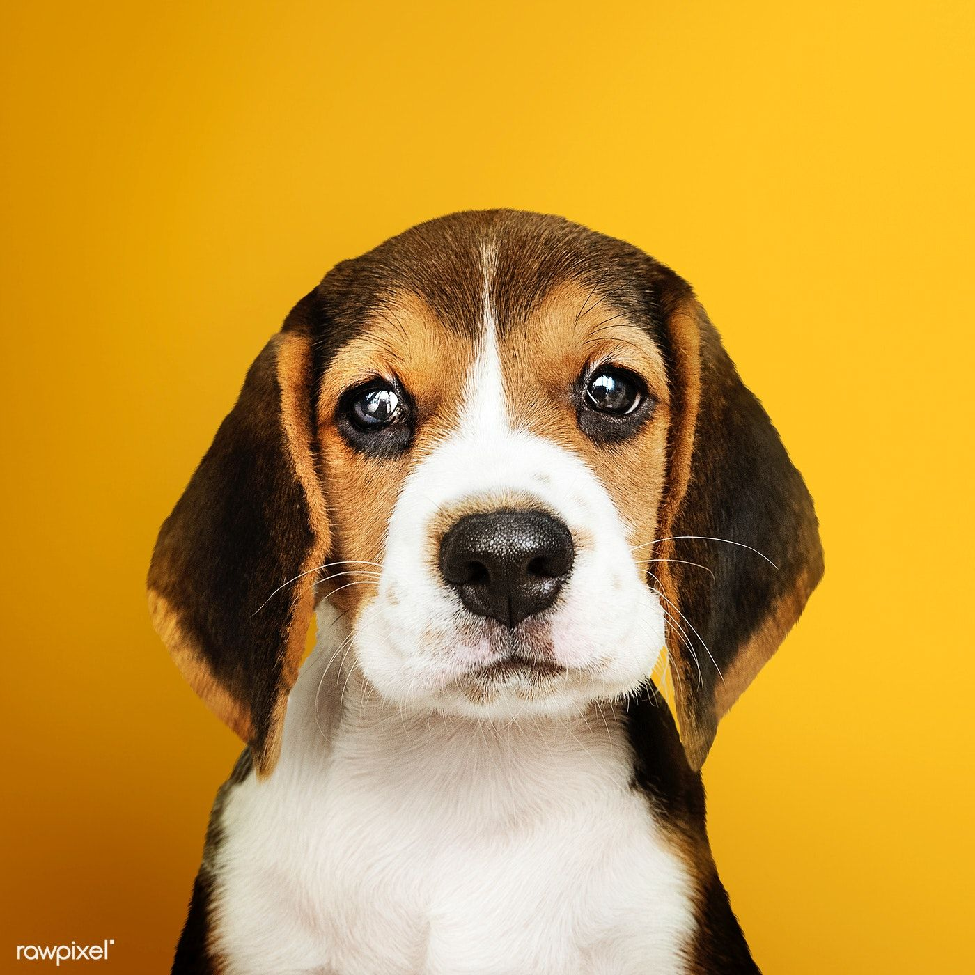 Download Premium Photo Of Adorable Beagle Puppy Solo Portrait