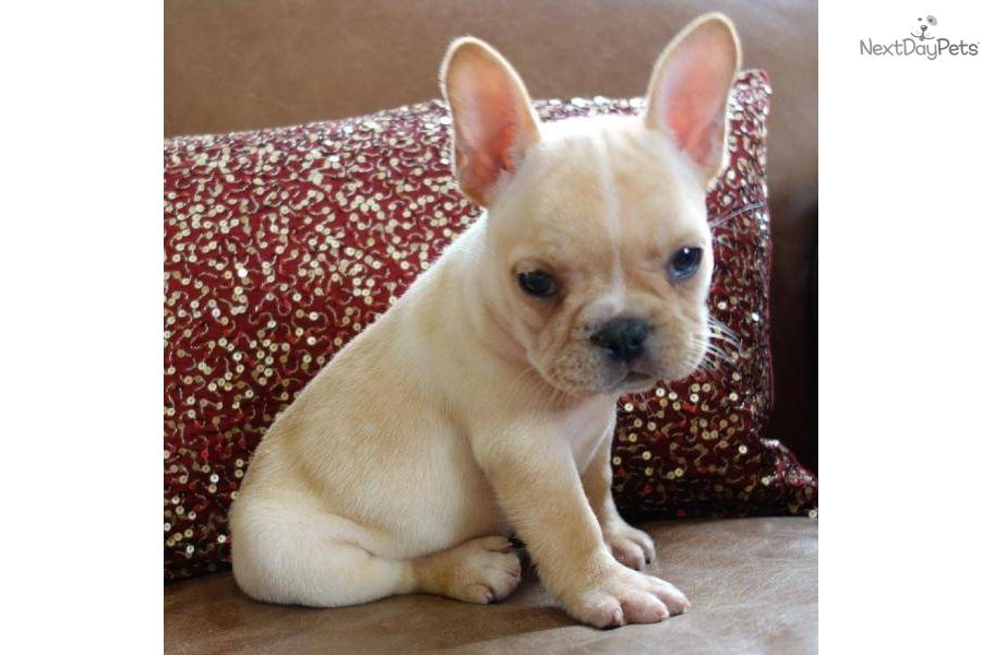 Meet Poeticfrenchbulldogs Com A Cute French Bulldog Puppy For Sale