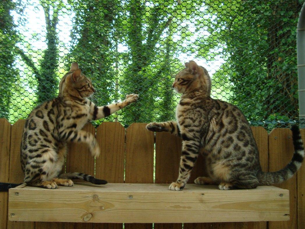 Bengal Cat Breeder Royal Bengal Cats Golden Bengal Kittens Avec Images Bengale Bengale Cat