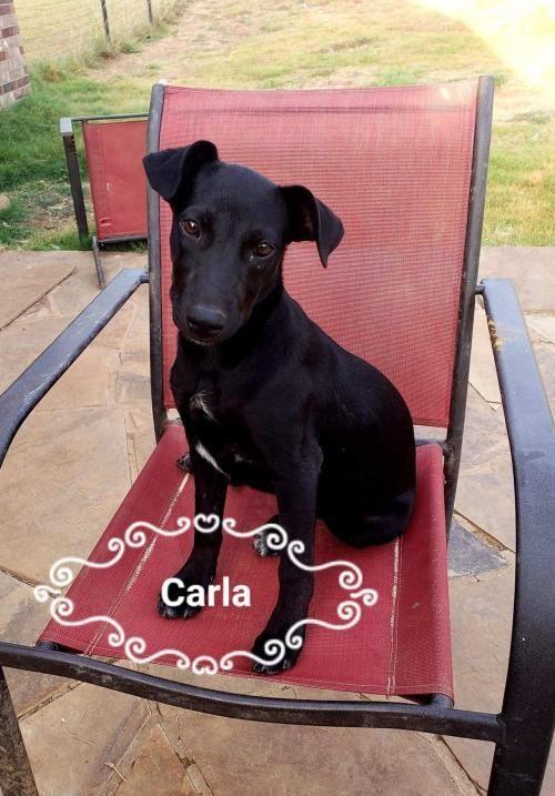 Adopt Carla on Rat terriers, Pets, Rat terrier mix