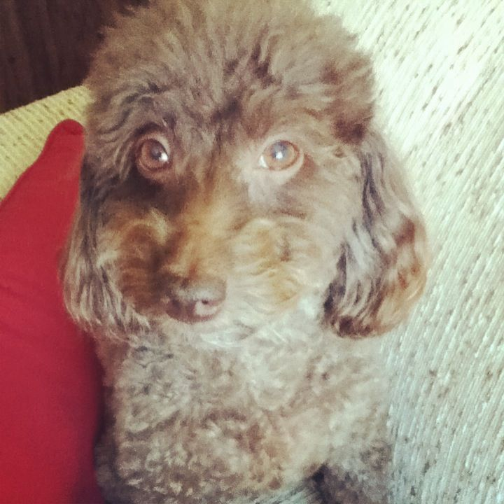 My beautiful little poodle!!