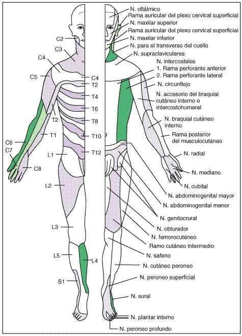 La palabra dermatoma se refiere a la correspondencia entre la piel y ...
