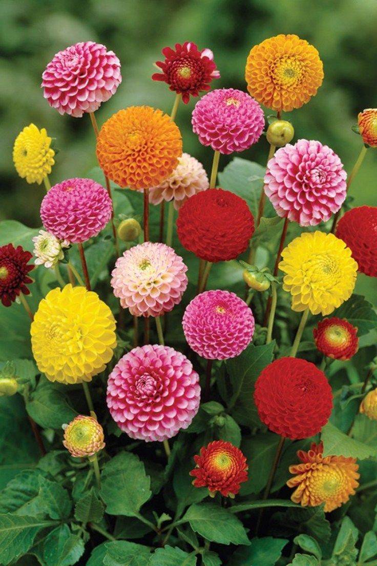 Top 10 tips on how to plant grow and care for dahlia flowers these beautiful spiky flowers originate from mexico and are tuberous rooted perennials that bloom from izmirmasajfo