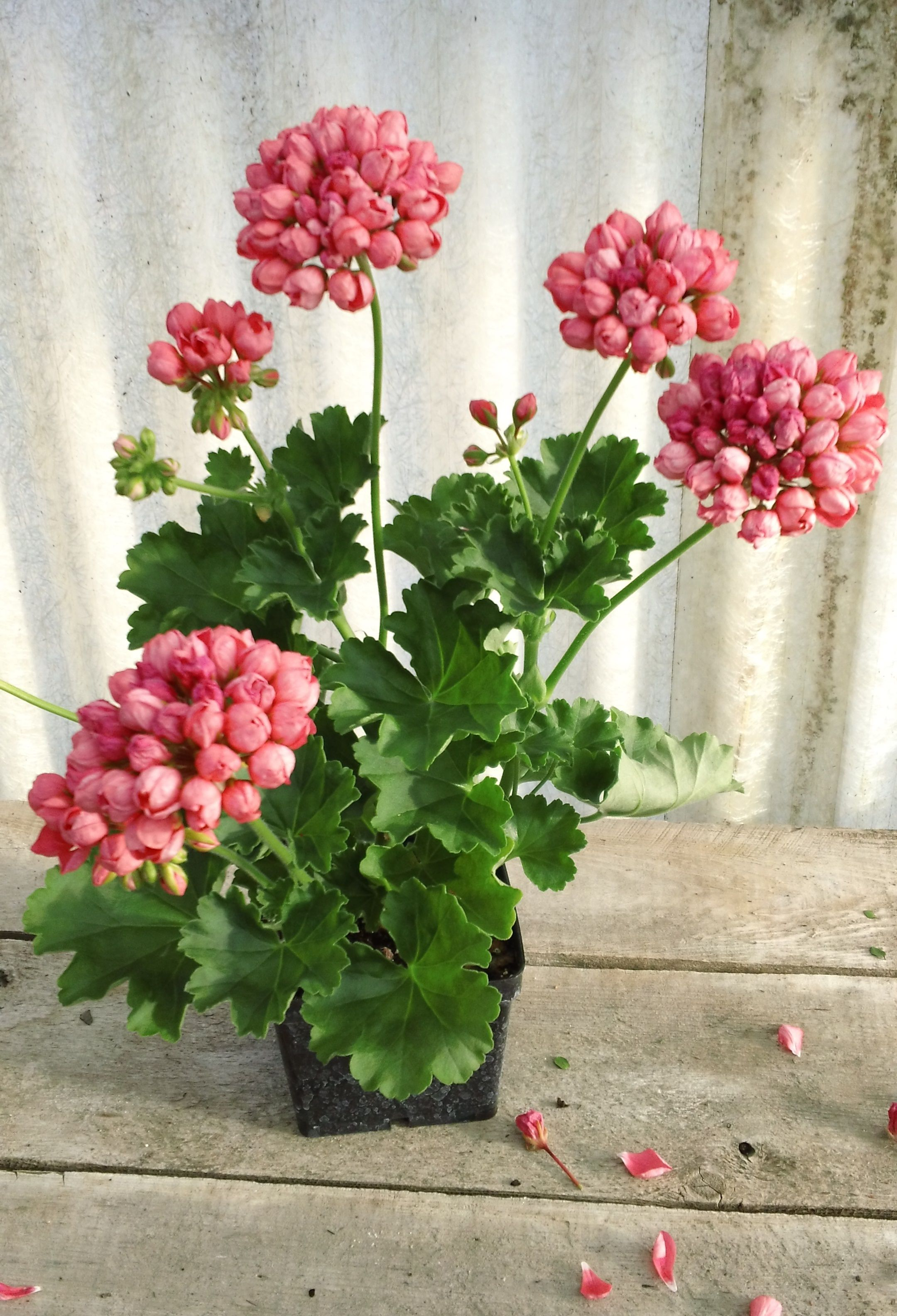If you love geraniums you need this one it's called Amy. You'll find it only at Reynebeau floral or Riverside Florist