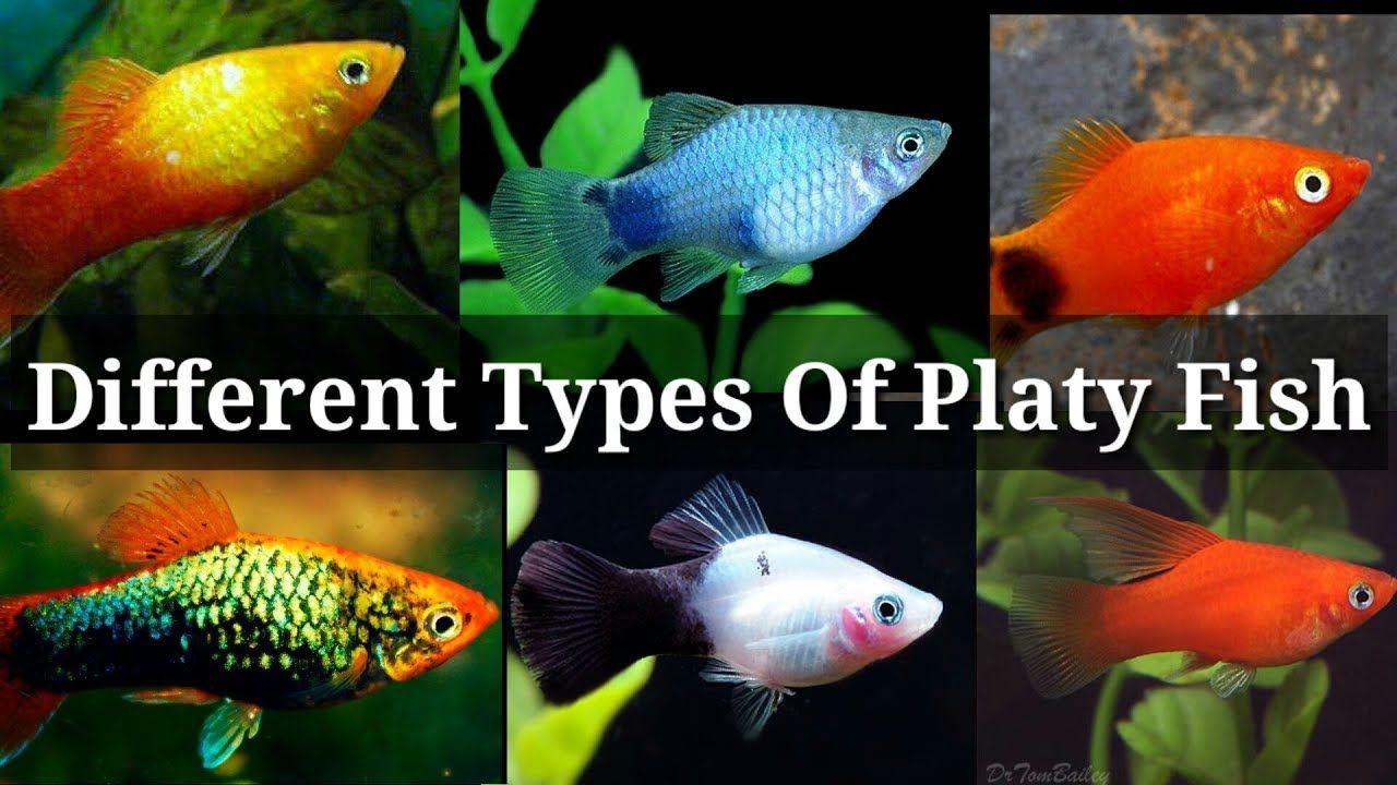 Different Types Of Platy Fish Platy Fish Fish Tank Fish