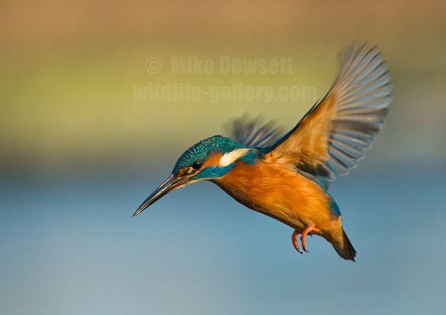 Kingfisher Flying kingfishers - G...