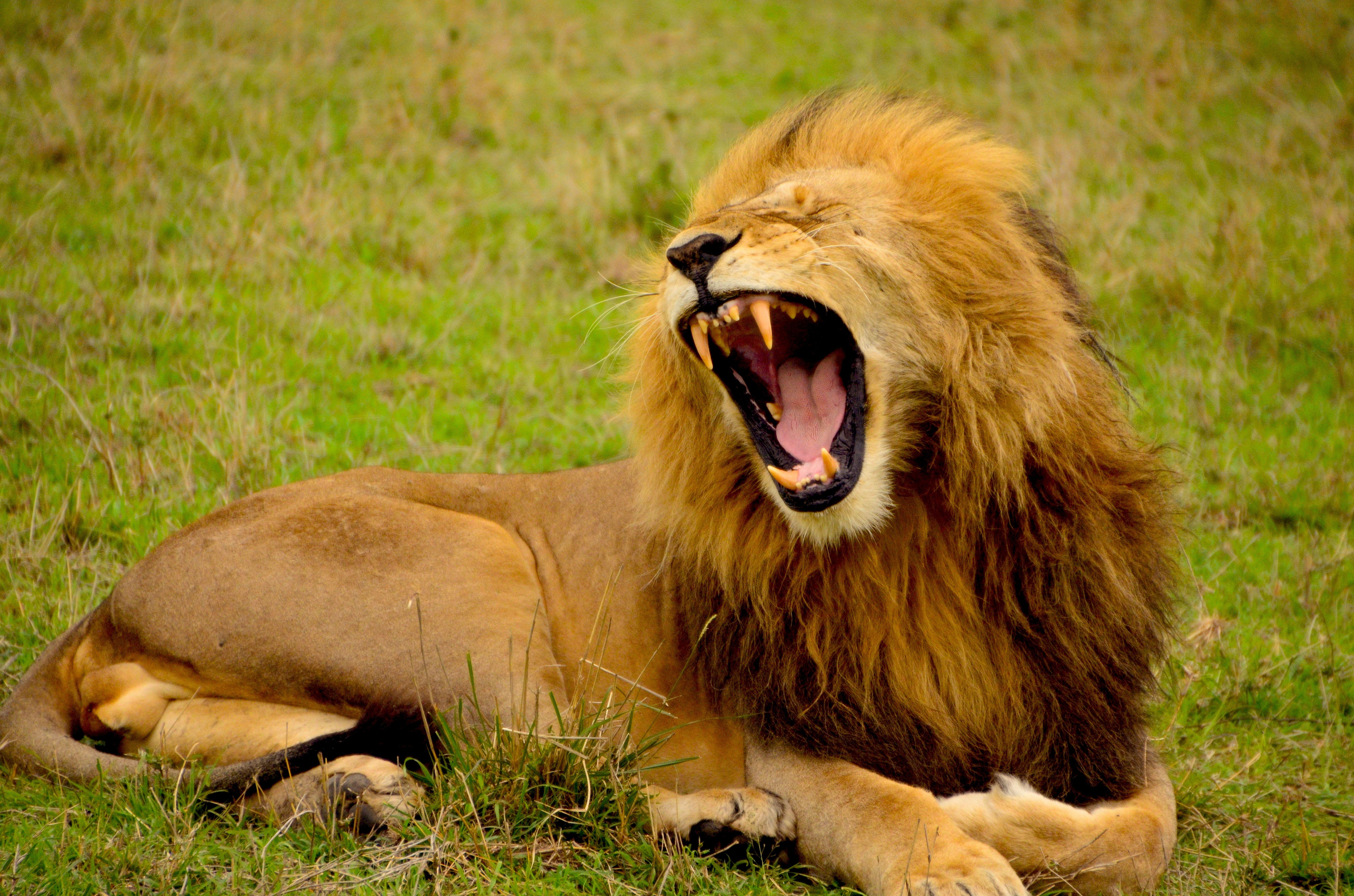 Photo d 39 un lion qui rugit de toutes