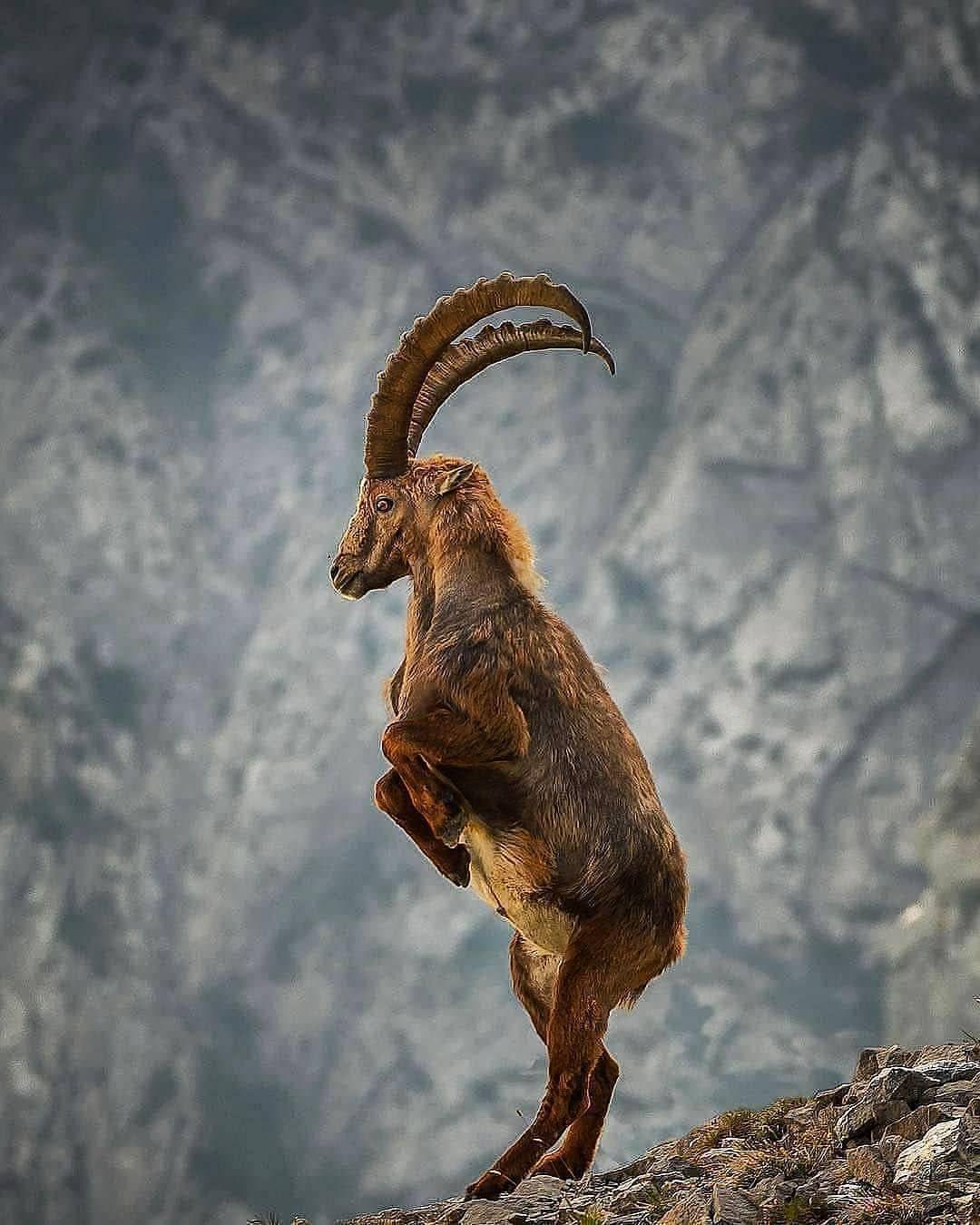 lpine Ibex Photo by @Marcelschiegg . . . . #animalsonland  #naturephotography #animal #wildlifeonearth #wildli…   Nature animals,  Animals beautiful, Wildlife animals